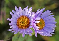 Close up of subalpine Daisy wildflowers