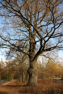 Quercus robur, Stieleiche, German oak