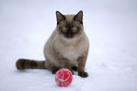 Siamese cat chocolate point sitting on snow with ball