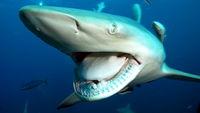 Shark big jaws