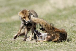 Rangelei unter Füchsen... Rotfüchse *Vulpes vulpes*