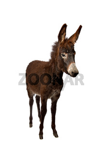 young brown donkey
