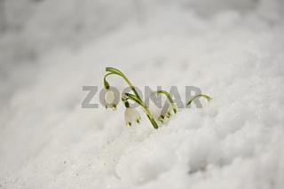 Fruehlingsblumen im Schnee