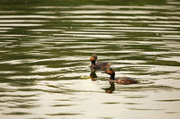 Two male black-necked grebe (Podiceps nigricollis)