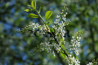 Prunus padus, Traubenkirsche, Bird cherry