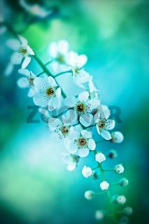 Bird cherry tree in blossom on blue tone