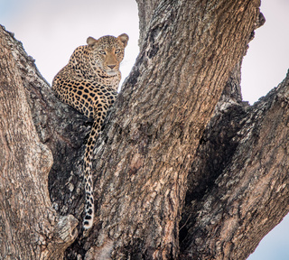 Leopard in a tree in the Kruger National Park