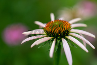 Sonnenhut, Echinacea