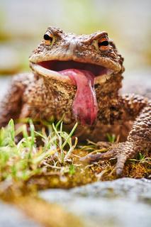 Erdkröte (Bufo bufo) mit heraushängender Zunge