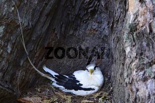 Weißschwanz-Tropikvogel ( Phaethon lepturus lepturus), brütet in