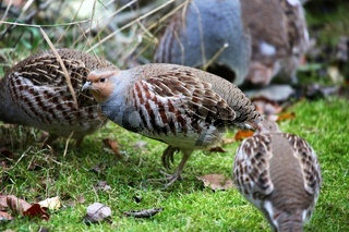 grey partridge at the bavarian forest national park