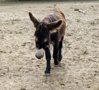 Poitou-Esel, Esel; Equus, Haustier