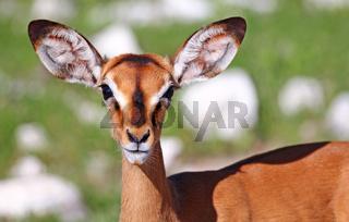 Schwarznasenimpala, Etosha-Nationalpark, Namibia, Aepyceros petersi, Impala, Etosha National park