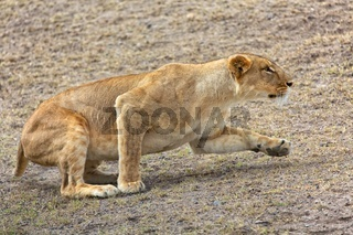 a lioness hunting at the masai mara