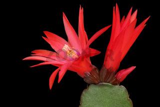 Kaktusbluete