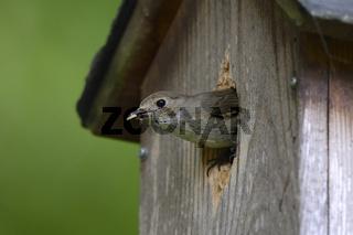 Trauerschnäpper (Ficedula hypoleuca), räumt Schmutz vom Nachwuch