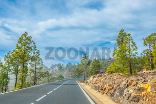 Road along the canarian pines in Corona Forestal Nature Park, Te