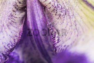 Iris (7)