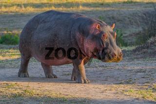 Hippopotamus amphibius,Hippo,Flusspferd,Hippopotamus,