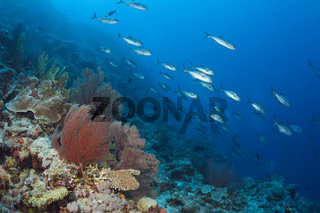 Grossaugen-Stachelmakrelen am Riff, Australien