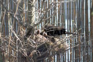 Turdus merula, Amsel, Blackbird, Nest