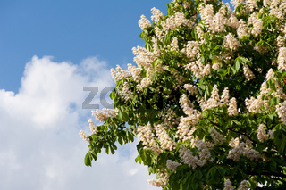 blooming Aesculus on blue sky in sunlight