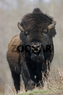 Amerikanischer Bisonbulle steht in der Praerie - (Waldbison - Indianerbueffel) / American Bison bull standing in the prairie - (Wood Bison - Mountain Bison) / Bison bison - Bison bison (athabascae)