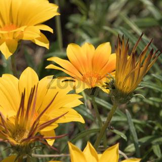 Gelbe Mittagsblumen Blüten