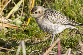Young Pacific Golden Plover autumn day on Bering Island