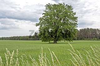 Einzelner Baum auf einem Feld im Frühjahr