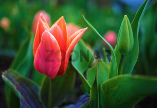Scarlet tulip flower