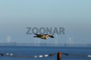Sumpfohreule Cuxhaven