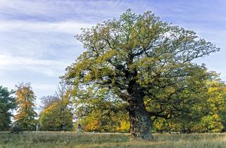 Stieleiche ist ein Baum mit ausladender Krone und robusten Aesten - (Sommereiche - Deutsche Eiche) / Pedunculate Oak is a long-lived tree with a large wide spreading crown of rugged branches - (Common Oak - French Oak) / Quercus robur