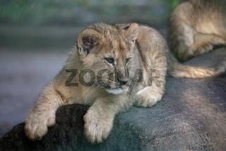 Mini-Löwe