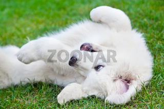Cute white puppy dog playing on grass. Polish Tatra Sheepdog