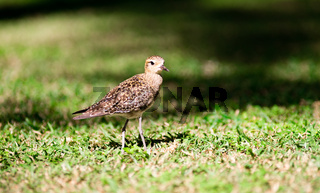 Pacific Golden Plover Wild Bird Oahu Haiwaii Animal Wildllife