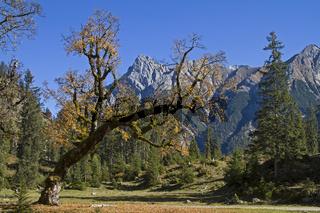 Ahornbaum im Karwendel