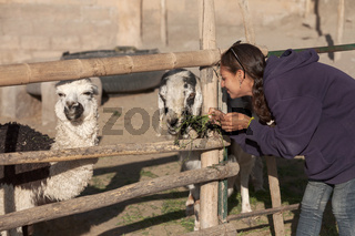 Young woman feeding a goat and lama in safari park