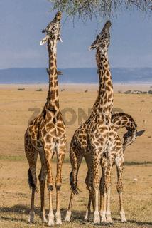 Girafe,Netzgiraffe,Giraffe,Giraffa camelopardalis reticulata,