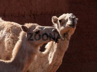 Dromedare in Marokko
