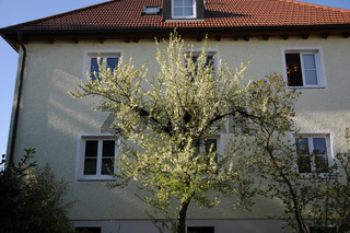 Prunus domestica, Zwetschgenbaum, Plum tree