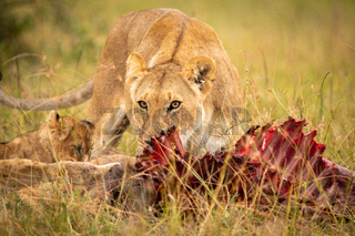 Lioness and cub eating kill in grass