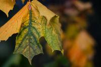 Laubfärbung einzelnes Blatt