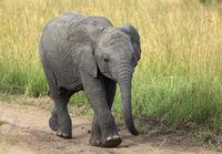 African Elephant Baby, Maasai Mara, Kenya, Africa.