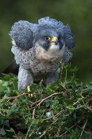 Wanderfalke (Falco peregrines)