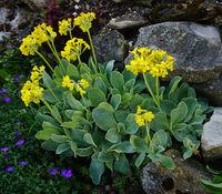 Alpen-Aurikel, primula auricula, mountain cowslip