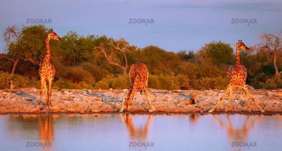 Trinkende Giraffen, Etosha-Nationalpark, Namibia, (Giraffa camelopardalis)   Drinking giraffes, Etosha National Park, Namibia, (Giraffa camelopardalis)