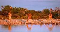 Trinkende Giraffen, Etosha-Nationalpark, Namibia, (Giraffa camelopardalis) | Drinking giraffes, Etosha National Park, Namibia, (Giraffa camelopardalis)