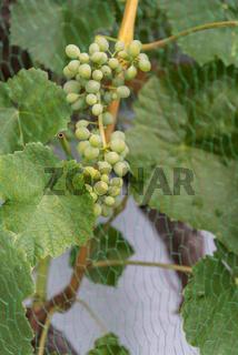 Vogelnetz an einer Weinrebe - Nahaufnahme