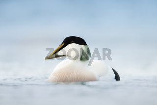 Close-up of a male Common Eider